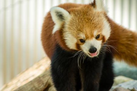 Red panda prowling
