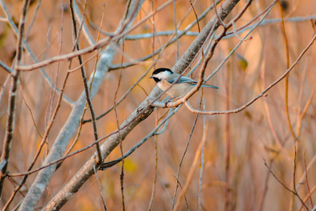 Chickadee in a tree on an autumn day
