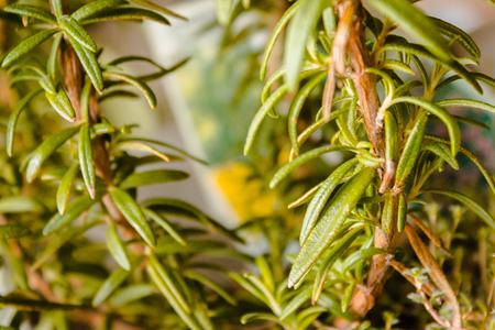 Macro shot of rosemary