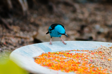 Swallow tanager eating seed set out at a feeding station Stock Photo