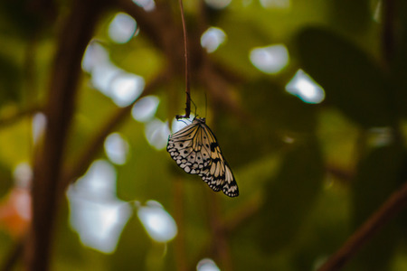 White butterfly with black spots perched on a branch in the tropical greenhouse at the Frederik Meijer Gardens Stock Photo