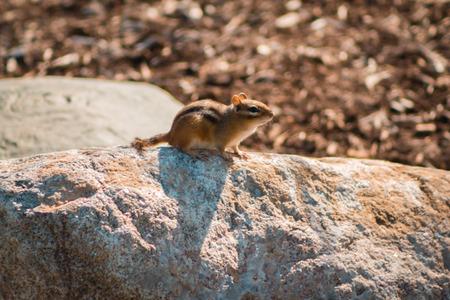 chipmunk sitting on a rock in Grand Rapids Michigan