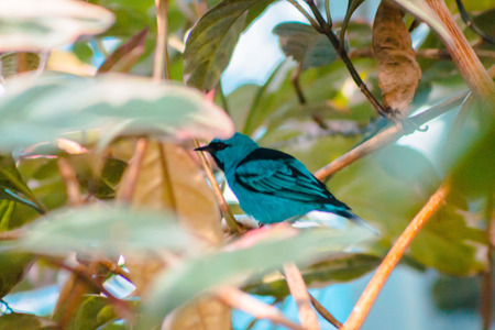 Tropical swallow tanager perched in a  tree 版權商用圖片