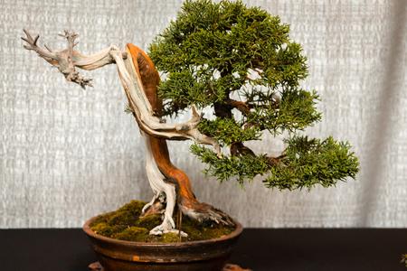 old pine bonsai tree no display