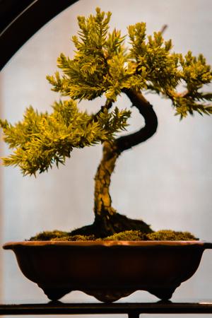 tiny pine bonsai tree at a show in Grand Rapids Michigan 版權商用圖片