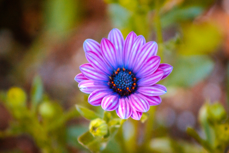 close up of a small purple and blue flower blooming on a sunny spring day in Grand Rapids Michigan 版權商用圖片