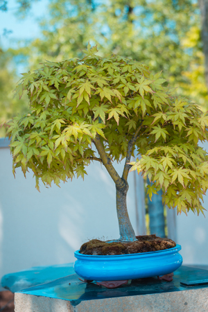 Japanese maple bonsai tree in the japanese gardens at the Frederik Meijer Gardens