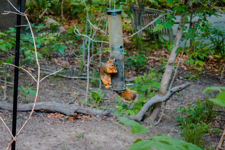 Squirrel eating out of a bird feeder at the Frederick Meijer Gardens 写真素材