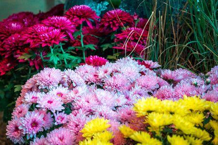Arrangements of Chrysanthemums  on display a the Frederik Meijer Gardens