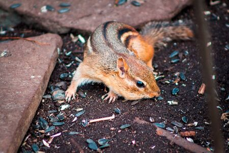 Chipmunk looking for food under a bird feeder