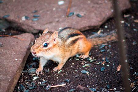 Chipmunk waiting under a birdfeeder for food