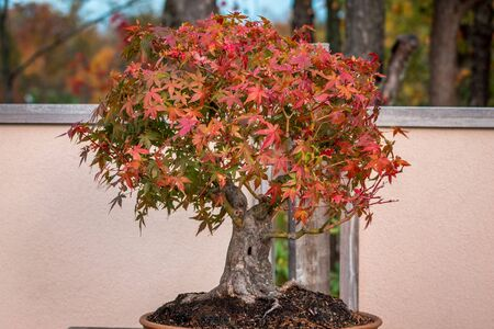 Japanese maple bonsai tree during the fall at the Japanese gardens Stock fotó
