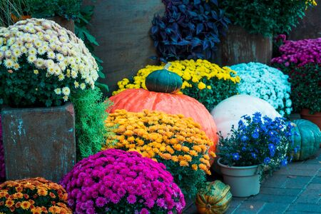 Mums and pumpkins on display in the gardens