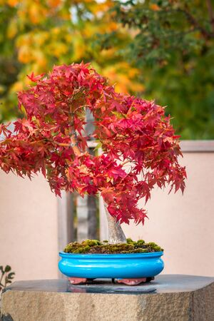 Red Japanese maple bonsai tree changing colors in the garden