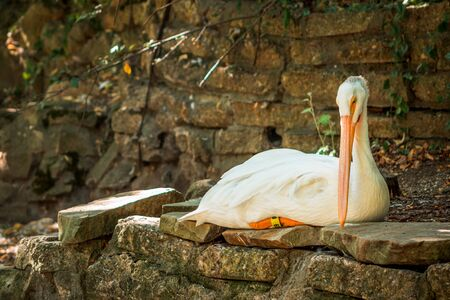 Pelican laying in the shade at the John Ball Zoo