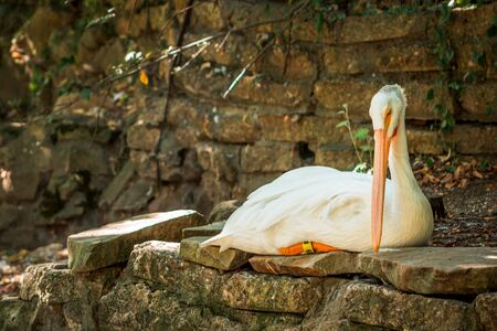 Pelican laying in the shade at the zoo