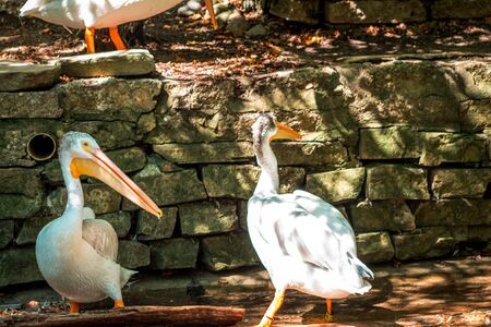 Two pelicans in their enclosure on a sunny day