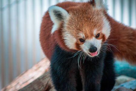 Close up shot of a red panda at the John Ball Zoo