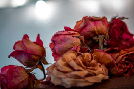 Dried roses on display lit from behind
