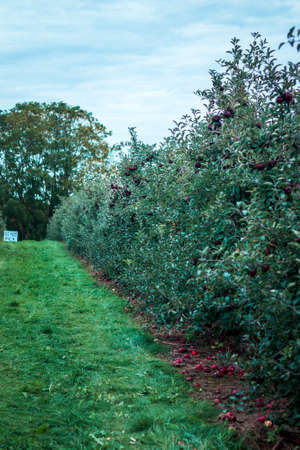 Rows of apple trees with ripe fruit at an orchard