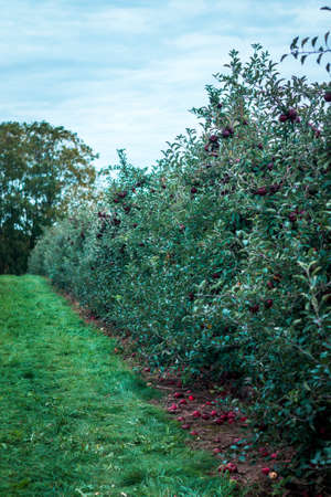 Rows of apple trees with ripe fruit at an orchard in Grand Rapids Michigan