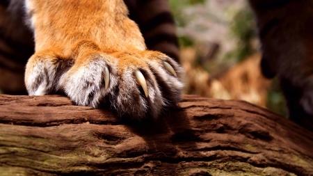 sumatran tiger: zampa di tigre di Sumatra di sesso maschile, lo zoo di Edimburgo. Archivio Fotografico