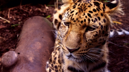 the amur: An Amur Leopard that lives in Edinburgh Zoo.