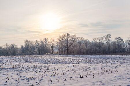Corn field in Snow