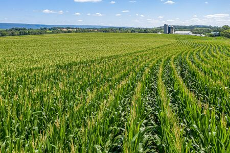Field of Corn in Pennsylvania Farmland with Barn and Silos Stockfoto