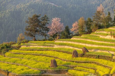 Mustard on Rice Terraces in Nepal