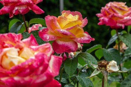Red and Yellow Rose in Garden