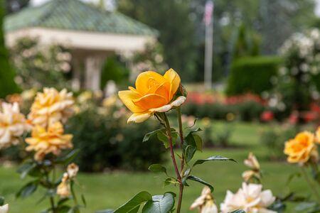 Yellow Rose in Garden with Gazebo