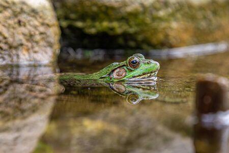 Frog In Pond Stockfoto