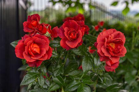 Red Roses Cluster in Garden in Pennsylvania