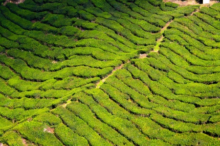 cameron highlands: Cameron Highlands in Malaysia Stock Photo