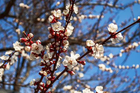 Spring flowering apricot Good Luck with your works