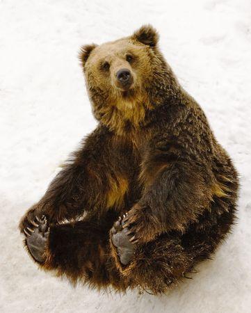 grizzly: Czarny Niedźwiedź brunatny siedzi na Å›niegu. Zdjęcie Seryjne