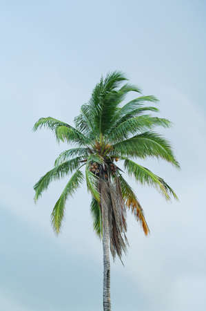Cocunut tree and its fruits standing in the blue sky