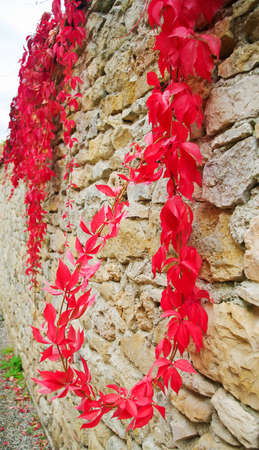 Red plant climbs on the brick wall Stock Photo