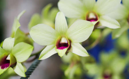 Green orchids in Thailand Stock Photo