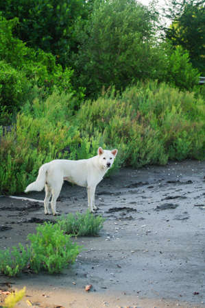 White dog standing in the mangrove site