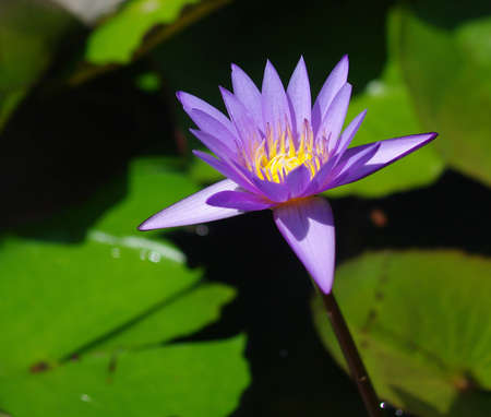 Violet water lily Stock Photo