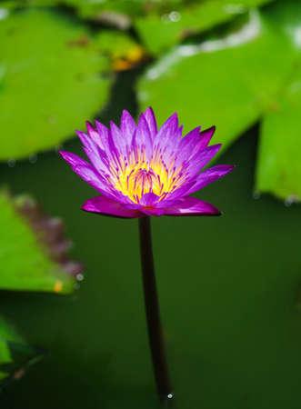 Dark violet water lily