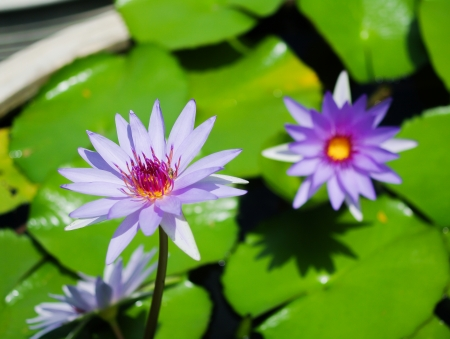 Bright violet water lily photo