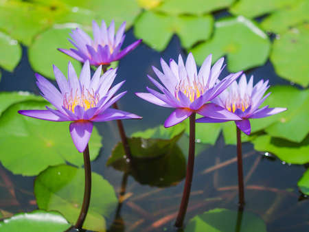 Four violet water lilies