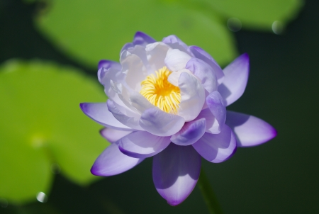 Clear violet water lily Stock Photo