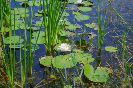 white water lily in the garden pool