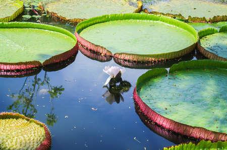 Victoria lotus flower in lake