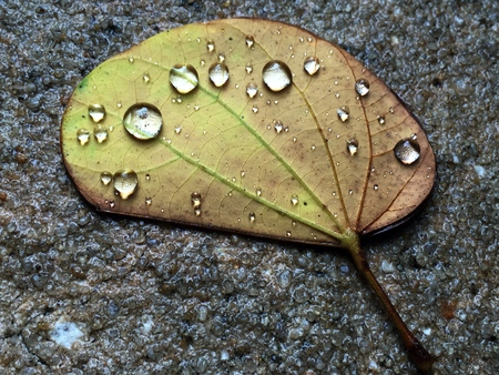 impermeable: Water drops on a leaf