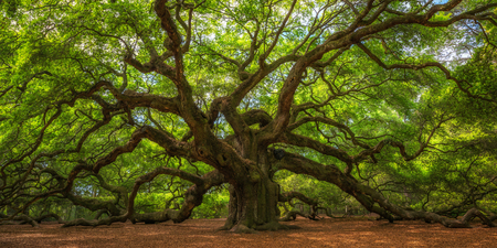 Angel Oak Tree Panorama in Zuid-Carolina Stockfoto